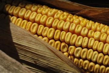 corn-seed-e1332785667128-360x240