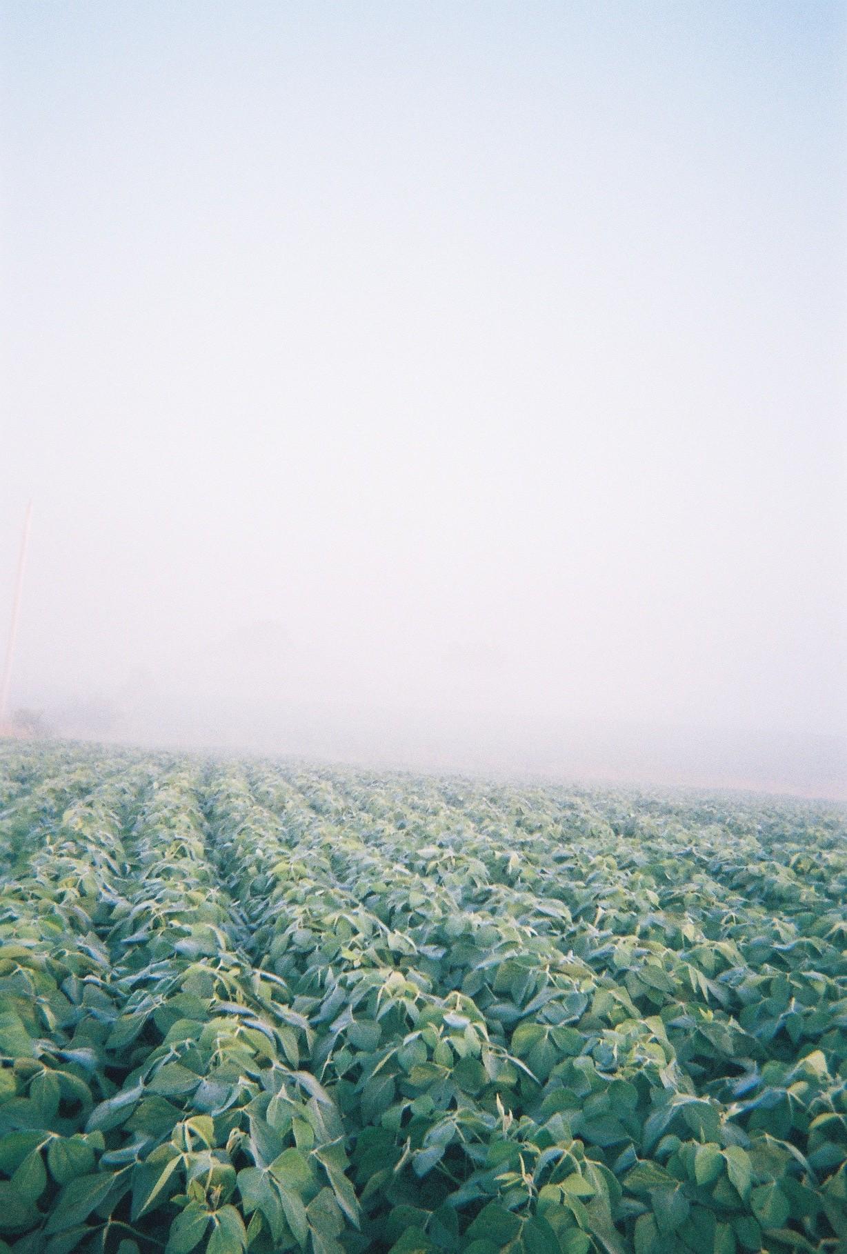 Soybean field at dawn